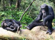 Chimps in Sierra Leone adapt to human-impacted habitats